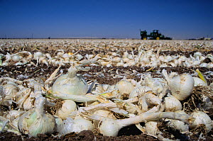 Processor onions, to be used dehydrated in various food products, being harvested from an agricultural field in the Imperial Valley, California, USA.  -  Jenny E. Ross