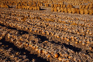 Market onions drying on the ground and in gunny sacks in an agricultural field, ready to be transported. Imperial Valley, California, USA.  -  Jenny E. Ross