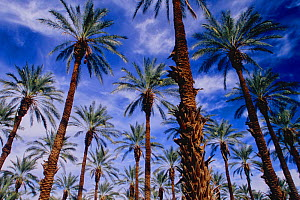 A Date palm (Phoenix dactylifera) plantation in the Coachella Valley near the Salton Sea. More than 90 percent of the dates produced in the United States are grown in this region, using Colorado River...  -  Jenny E. Ross