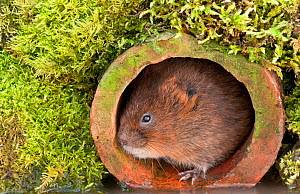 Water Vole (Arvicola terrestris) in terracotta pipe by water�s edge. Captive. Devon, UK. April 2010.  -  Ross Hoddinott