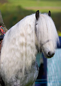 Head portrait of a rare grey Yorkshire Dales gelding (Equus caballus) with long mane, at Glanusk Estate, Wales, UK - Kristel Richard