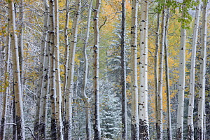 Autumn colours of the Aspen trees (Populus tremula) in the snow, near Muleshoe, Bow Valley Parkway, Banff National Park, Alberta, Canada. October 2009  -  David Noton