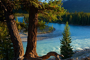 Pine trees by the Athabasca River near Jasper, Jasper National Park, Alberta, Canada. September 2009  -  David Noton