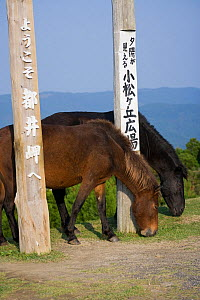 Two wild Misaki-uma (Equus ferus caballus) mares grazing at the entrance of the Cape Toi Reserve, Miyazaki Prefecture, Kyushu Island, Japan  -  Kristel Richard