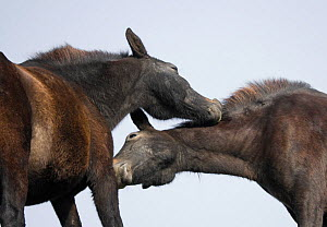 Two wild Misaki-uma mares (Equus ferus caballus)grooming each other in the Cape Toi Reserve, Miyazaki Prefecture, Kyushu Island, Japan.  -  Kristel Richard