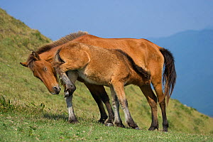 A wild Misaki-uma foal (Equus ferus caballus) suckling his mother in the Cape Toi Reserve, Miyazaki Prefecture, Kyushu Island, Japan.  -  Kristel Richard