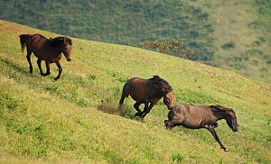 A wild Misaki-uma breeding stallion (centre) brings back a mare to his band while another breeding stallion (left) charges him away, in the Cape Toi Reserve, Miyazaki Prefecture, Kyushu Island, Japan.  -  Kristel Richard