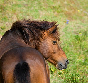 Rear view of a wild Misaki-uma breeding stallion (Equus ferus caballus) in the Cape Toi Reserve, Miyazaki Prefecture, Kyushu Island, Japan.  -  Kristel Richard