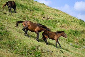 A wild Misaki-uma breeding stallion  (Equus ferus caballus) bites one of his young mares who was wandering too far away from the band, in the Cape Toi Reserve, Miyazaki Prefecture, Kyushu Island, Japa...  -  Kristel Richard