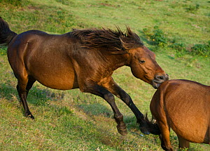 A wild Misaki-uma breeding stallion (Equus ferus caballus) bites away a bachelor stallion, in the Cape Toi Reserve, Miyazaki Prefecture, Kyushu Island, Japan.  -  Kristel Richard