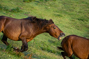 A wild Misaki-uma breeding stallion bites away a bachelor stallion, in the Cape Toi Reserve, Miyazaki Prefecture, Kyushu Island, Japan.  -  Kristel Richard