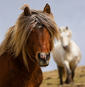 Head portrait of a Classic pony stallion (Equus caballus) and one of his mares, in Auvergne, France.  -  Kristel Richard