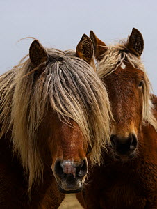 Head portrait of a Classic pony stallion (Equus caballus) and one of his mares, Auvergne, France.  -  Kristel Richard