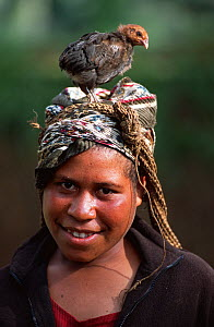 Huli woman with juvenile domestic chicken (Gallus gallus domesticus) on her head. Tari Valley, Papua New Guinea, during filming for the BBC series Planet Earth, August 2004.  -  Tom Clarke