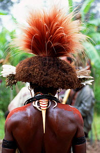 Rear view of tradional feather headdress and jewellery of Huli wigman, Tari Valley, Papua New Guinea, during filming of BBC series Planet Earth, August 2004.  -  Tom Clarke