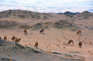 Herd of domesticated Bactrian camels (Camelus bactrianus) grazing, Gobi Desert, Mongolia, January 2003 during filming of BBC series Planet Earth.  -  Tom Clarke