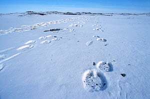 Tracks in snow of Bactrian camels (Camelus bactrianus), Gobi Desert, Mongolia, during filming of BBC series Planet Earth, January 2003.  -  Tom Clarke