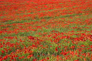 Field of Common poppies (Papaver rhoeas)  South Downs, West Sussex, England. June 2009  -  Peter Lewis