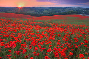 Sunset over fields of Common poppies (Papaver rhoeas) South Downs, West Sussex, England. June 2009 - Peter Lewis