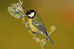 Great Tit (Parus major) perching on lichen covered twig, New Forest, Hampshire, England  -  Peter Lewis
