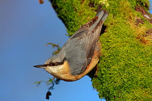 Nuthatch (Sitta europaea) perching on moss covered tree trunk, New Forest, Hampshire, England  -  Peter Lewis