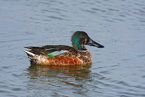 Male Northern shoveler (Anas clypeata) in eclipse plumage on water, Titchfield Haven, Hampshire, England  -  Peter Lewis