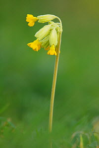 Cowslip (Primula veris) Martin Down, Hampshire England, April  -  Peter Lewis