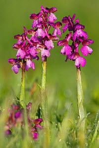 Purple variety of Green winged orchid (Anacamptis morio) Bishops Waltham, Hampshire, England, UK, April  -  Peter Lewis