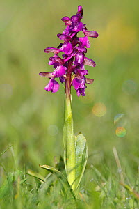 Purple variety of Green winged orchid (Anacamptis morio) covered in early morning dew. Wimborne, Dorset, England, April  -  Peter Lewis