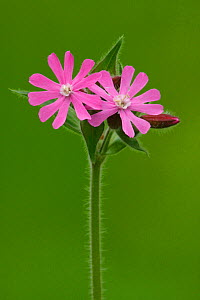Red Campion (Silene dioica) Pamp Hill, Dorset, England  -  Peter Lewis