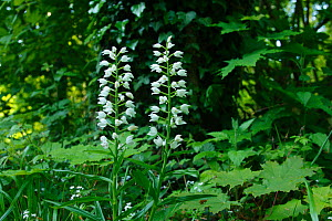 Sword-leaved / Narrow-leaved Helleborine (Cephalanthera Longifolia) West Meon, Hampshire, England  -  Peter Lewis