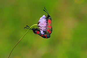 Six spot burnet moths (Zygaena filipendulae) on flower, Hampshire, England  -  Peter Lewis