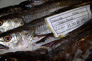 Hake (Merluccius sp) packed with ice in a fishbox. North Sea, May 2010.  -  Philip Stephen
