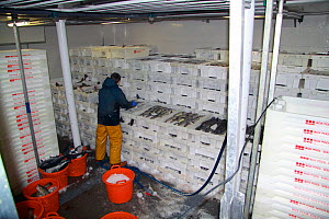 Fisherman packing boxes of iced fish in the cargo hold on a fishing boat, North Sea, May 2010. Model released.  -  Philip Stephen