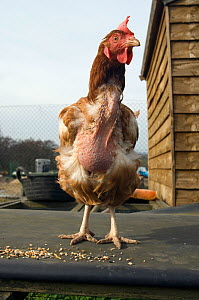 Rescued battery hen. They often lack feathers when they come out of the battery barns. UK.  -  Georgette Douwma