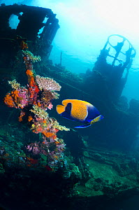 "Blue-girdled angelfish (Pomacanthus navarchus) on the wreck ""Kasi Maru"", a Japanese merchant ship sunk in fifty feet of water off Munda in Ironbottom Sound during a World War II bombing raid July 1943... - Georgette Douwma"