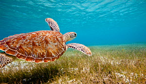 Green turtle (Chelonia mydas) swimming over sea grass, Grenadines, Caribbean, February 2010.  -  Onne van der Wal