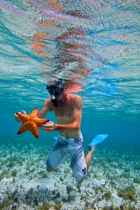 Young man snorkeling over seagrass bed, holding a starfish, The Grenadines, Caribbean. February 2010, Model released.  -  Onne van der Wal