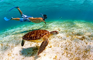 Young man snorkeling with a Green turtle (Chelonia mydas) in the Grenadines, Caribbean, February 2010. Model Released. - Onne van der Wal