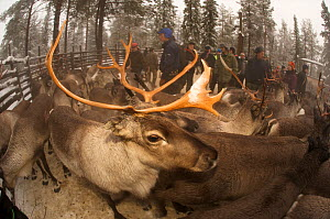 Reindeer (Rangifer tarandus) in enclosure, Lapland, Sweden, November 2009  -  Dan Burton