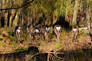 Small herd of Japanese sika deer (Cervus nippon)   showing white rumps, Dorset, England - Dave Watts