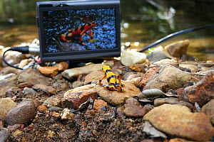 Panamanian golden frog (Atelopus ziteki) reacting to the image of a frog on a video monitor. Experiment carried out to reveal the purpose of the frog's waving behaviour - to attract mates and deter ri...  -  Miles Barton