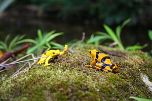 Panamanian Golden Frog (Atelopus ziteki) reacting to the model of a waving frog. Experiment carried out to reveal the purpose of the frog's waving behaviour � to attract mates and deter rivals. Featur... - Miles Barton