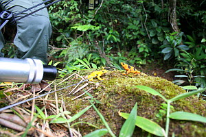 Filming Panamanian Golden Frog (Atelopus ziteki)reacting to the model of a waving frog. Experiment carried out to reveal the purpose of the frog's waving behaviour � to attract mates and deter rivals....  -  Miles Barton