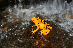 Panamanian Golden Frog (Atelopus ziteki) Panama,~Featured in BBC NHU series 'Life in Cold Blood'. Species now extinct in the wild - Miles Barton