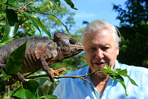 Sir David Attenborough observing a male Oustalet's chameleon (Furcifer oustaleti) the largest chameleon in the world, Montagne D'Ambre, Madagascar, on location for filming of BBC NHU series 'Life in C...  -  Miles Barton