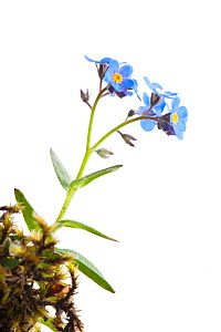 Alpine Forget-me-not (Myosotis asiatica) in flower,  Scotland, UK - Niall Benvie