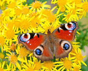 Peacock butterfly (Inachis io) on Ragwort (Senecio jacobaea) Scotland, UK - Niall Benvie