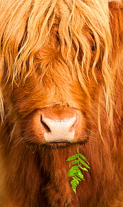 Head portrait of Highland cow, Scotland, with tiny frond of bracken at corner of mouth, UK  -  Niall Benvie