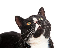 Head portrait of black and white domestic cat (Felix catus) looking up - Niall Benvie